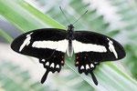 Papilio torquatus tolus