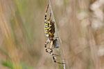 Wespenspinne, weibl., Argiope bruennichi