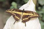 Könispage, Papilio thoas