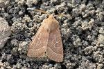 Rundflügel - Kätzcheneule, Orthosia cerasi