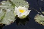 Seerose, Nymphaea sp.