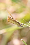 Rispengraszünsler, Chrysoteuchia culmella