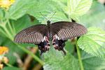 Kleiner Mormon weibl., Papilio polytes