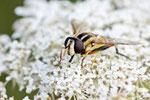 Gr. Sumpfschwebfliege, weibl. Helophilus trivittatus