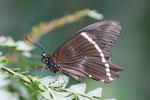 Blaugesteifter Schwalbenschwanz, Papilio nireus