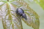 Hellgefleckter Dickmaulrüssler, Otiorhynchus gemmatus