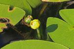 Gelbe Teichrose, Nuphar lutea
