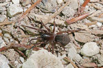 Trichternetzspinne, Coelotes terrestris/Inermocoelotes inermis