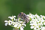 Stolperkäfer, männl., Valgus hemipterus