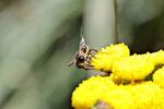 Sandbiene, männl., Andrena cf. denticulata