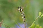 Raupe vom Schwalbenschwanz, Papilio machaon