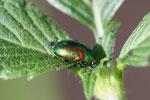 Ovaläugiger Blattkäfer, Chrysolina fastuosa