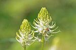 Ährige Teufelskralle, Phyteuma spicatum