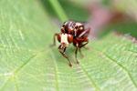 Gem. Breitstirn - Blasenkopffliege, Sicus cf. ferrugineus