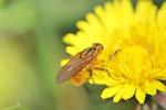 Gelbe Dungfliege, männl., Scathophaga stercoraria