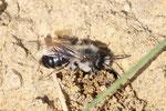 Weidensandbiene, Andrena vaga