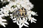 Pinselkäfer, Trichius zonatus
