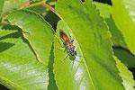 Blattwespe, Tenthredo maculata