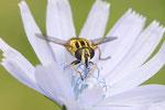 Gemeine Sumpfschwebfliege, Helophilus pendulus