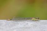 Große Pechlibelle, weibl., Ischnura elegans, Farbform infuscans