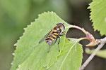 Gestreifte Waldschwebfliege, Dasysyrphus albostriatus