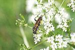Bergblattwespe, weibl., Macrophya montana