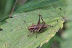 Gemeine Strauchschrecke, Larve, männl., Pholidoptera griseoaptera