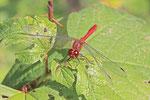 Blutrote Heidelibelle, männl., Sympetrum sanguineum