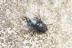 Blaue Schmeissfliege, Calliphora vicina