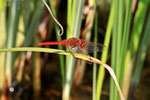 Feuerlibelle, männl., Crocothemis erythraea