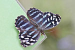 Scheinschillerfalter, Myscelia cyaniris