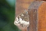 Weißer Waldportier, Brintesia circe