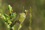 Grüne Stinkwanze, Palomena prasina