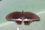 Kleiner Mormon, männl. Papilio polytes