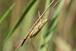 Langflügelige Schwertschrecke, weibl., Conocephalus fucus