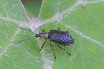 Gespornter Blattrüssler, Phyllobius calcaratus