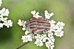 Streifenwanze, Graphosoma lineatum