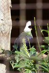 Weißhaubenturako