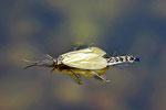 Köcherfliege, Oligotricha striata, geschlüpft