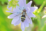 Breitband-Waldschwebfliege, männl., Dasysyrphus tricinctus