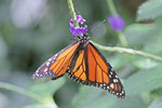 Monarch, Danaus plexippus
