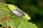 Graue Gartenwanze, Rhaphigaster nebulosa