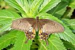 Chinesischer Schwalbenschwanz, Papilio binaor
