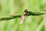 Waffenfliege, Chloromyia formosa/speciosa