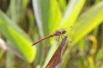 Große Heidelibelle, Sympetrum striolatum