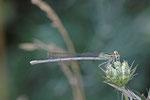 Blaue Federlibelle, Platycnemis pennipes