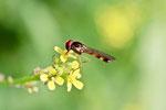 Schwarzkopf-Schwebfliege,  Melanostoma sp.