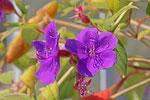 Prinzessinnenblume, Tibouchina urvilleana
