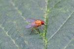 Rote Hausfliege, Thricops diaphanus