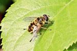 Totenkopf - Schwebfliege, Myathropa florea